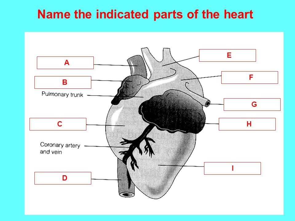 Name the indicated parts of the heart