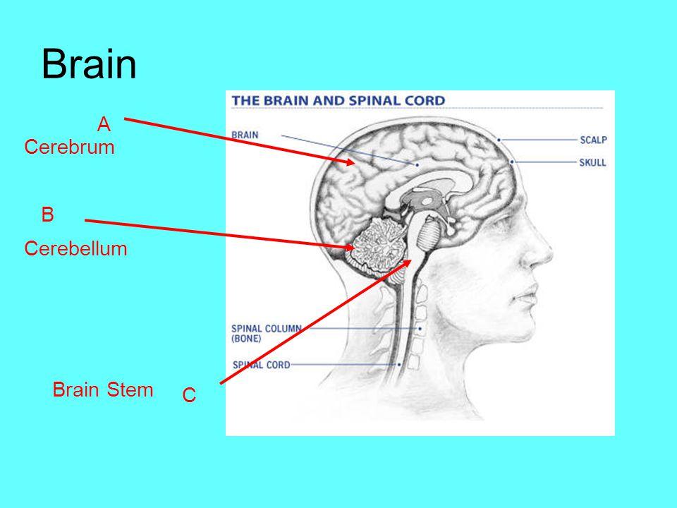 Brain A Cerebrum B Cerebellum Brain Stem C