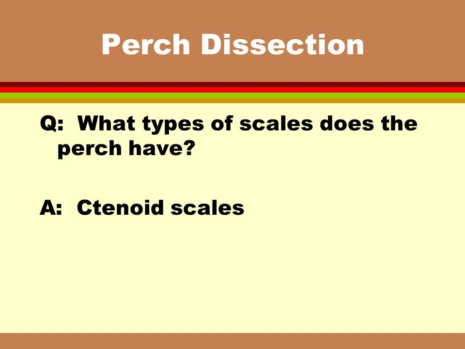 Perch Dissection Q: What types of scales does the perch have