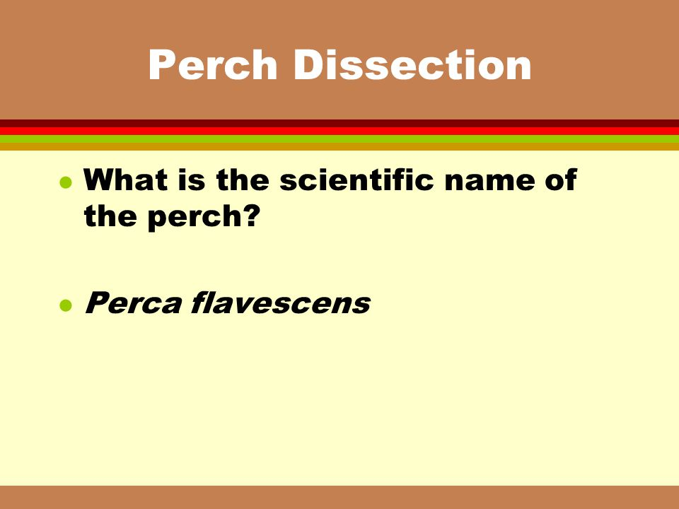 Perch Dissection What is the scientific name of the perch