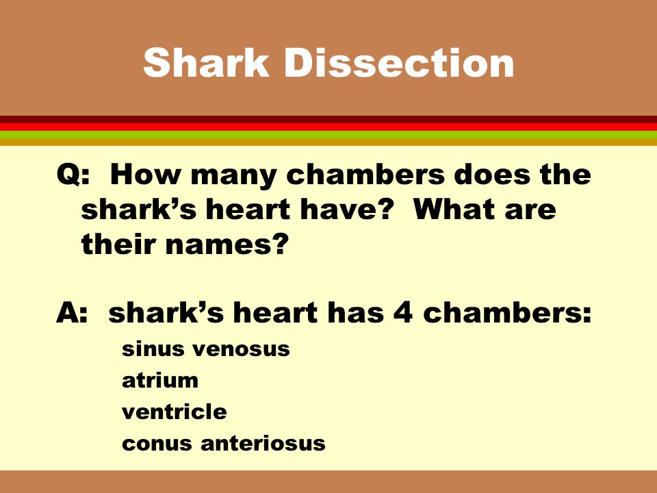 Shark Dissection Q: How many chambers does the shark's heart have What are their names A: shark's heart has 4 chambers: