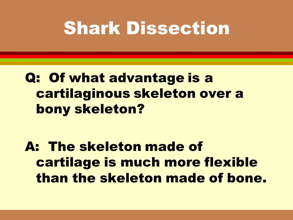 Shark Dissection Q: Of what advantage is a cartilaginous skeleton over a bony skeleton