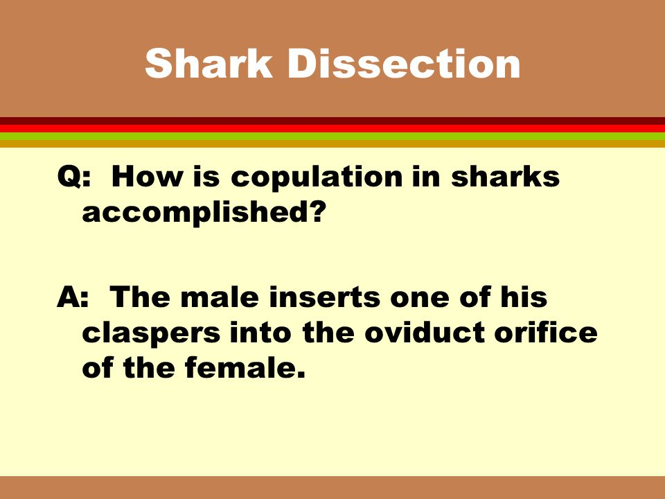 Shark Dissection Q: How is copulation in sharks accomplished