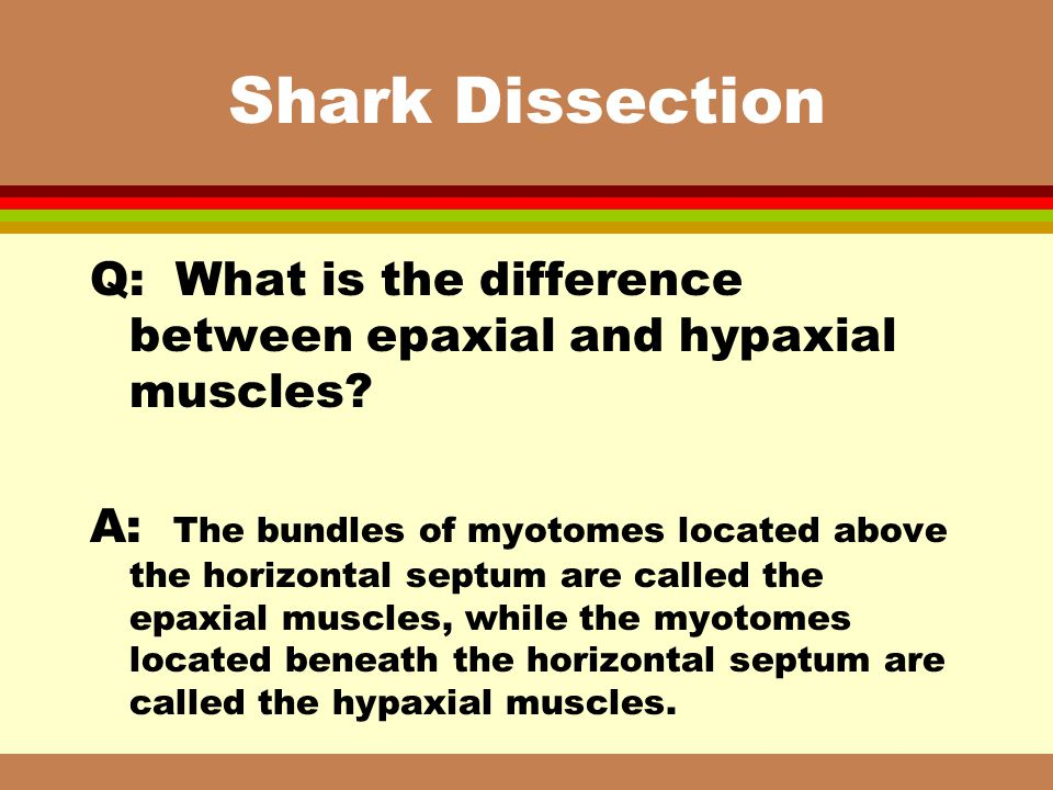 Shark Dissection Q: What is the difference between epaxial and hypaxial muscles