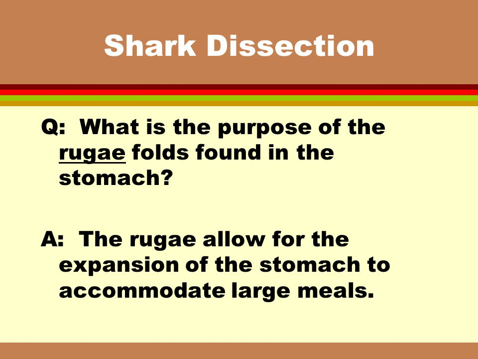 Shark Dissection Q: What is the purpose of the rugae folds found in the stomach
