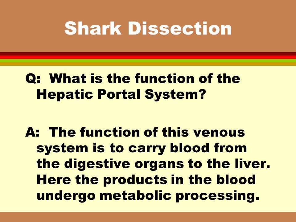 Shark Dissection Q: What is the function of the Hepatic Portal System