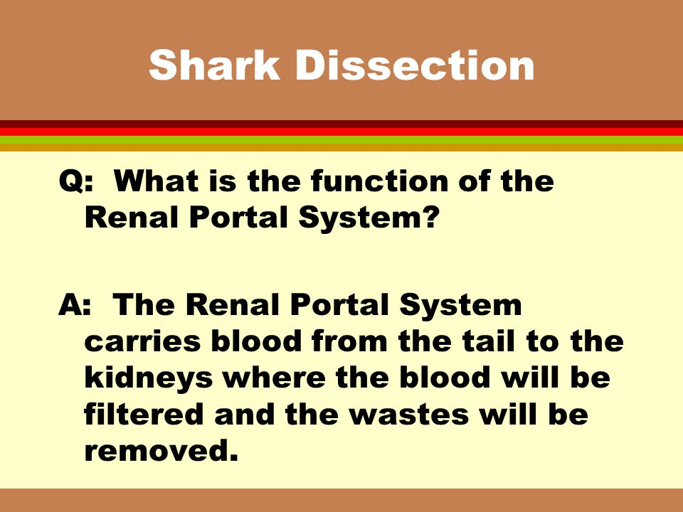 Shark Dissection Q: What is the function of the Renal Portal System