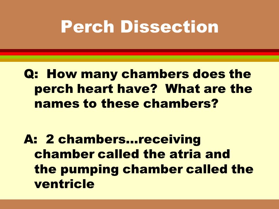 Perch Dissection Q: How many chambers does the perch heart have What are the names to these chambers