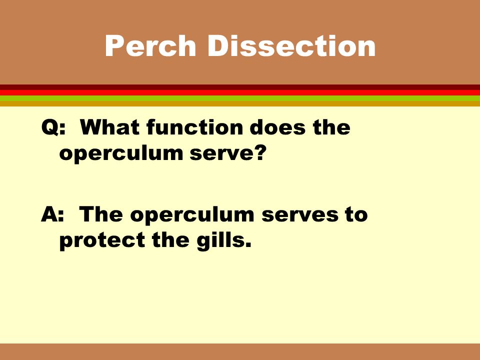 Perch Dissection Q: What function does the operculum serve
