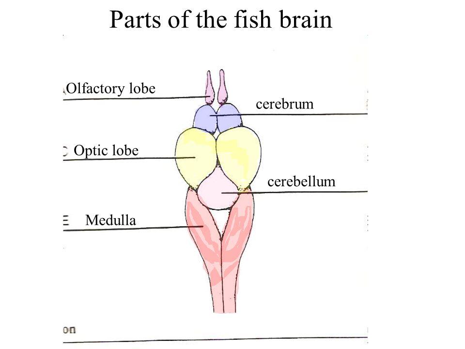 Parts of the fish brain Olfactory lobe cerebrum Optic lobe cerebellum