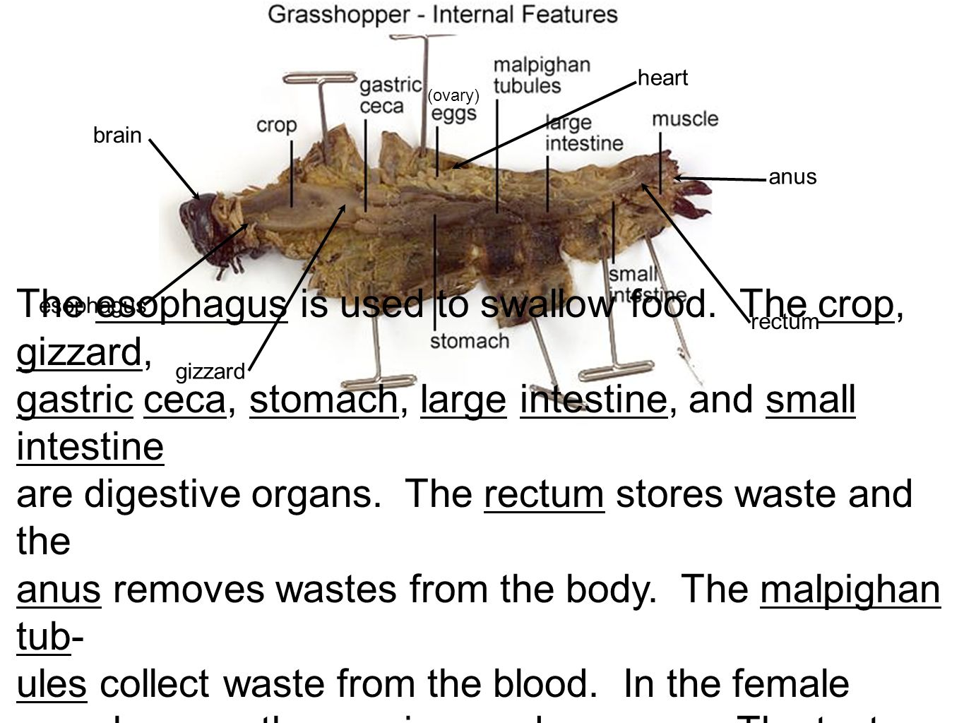 Internal Crayfish Anatomy Image collections Human Anatomy Learning – Grasshopper Dissection Worksheet