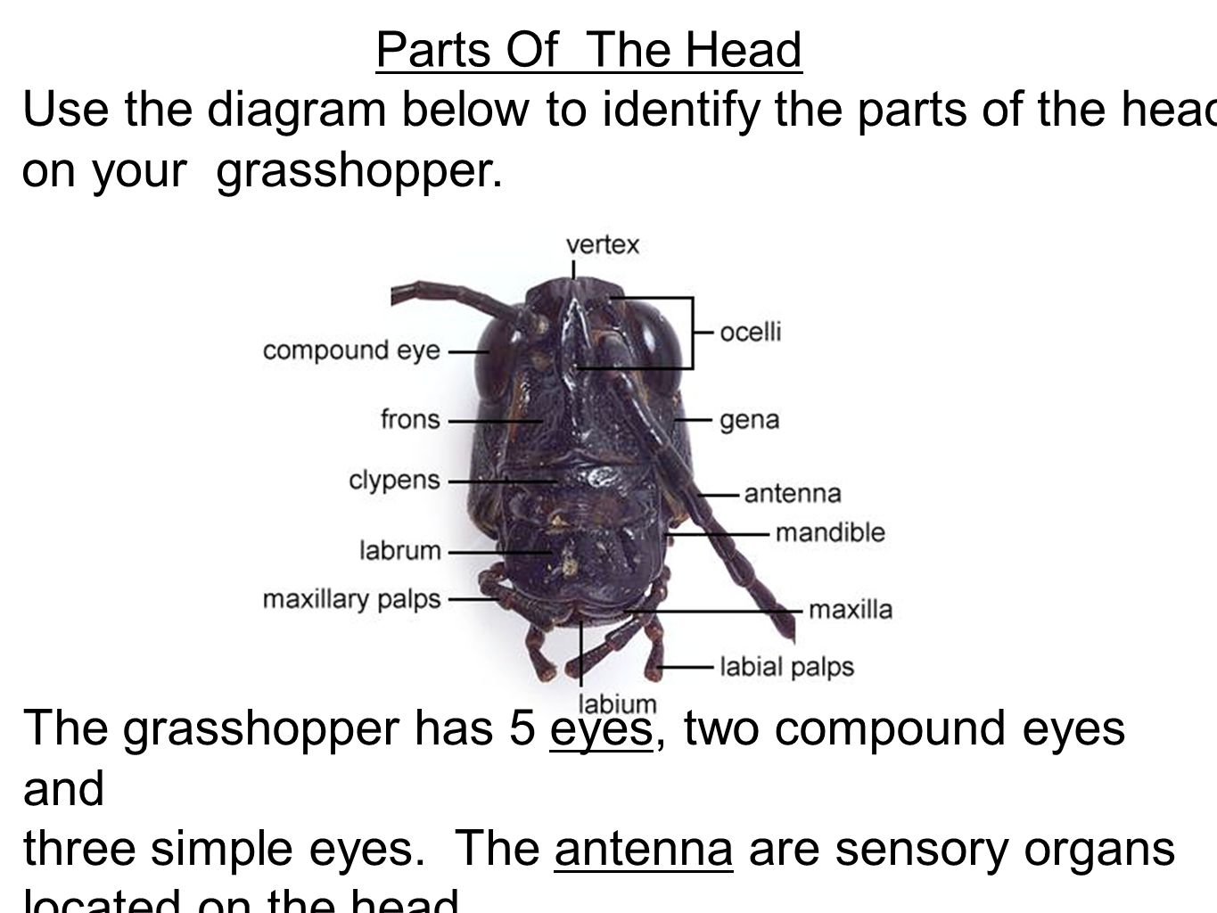 Grasshopper Dissection ppt video online