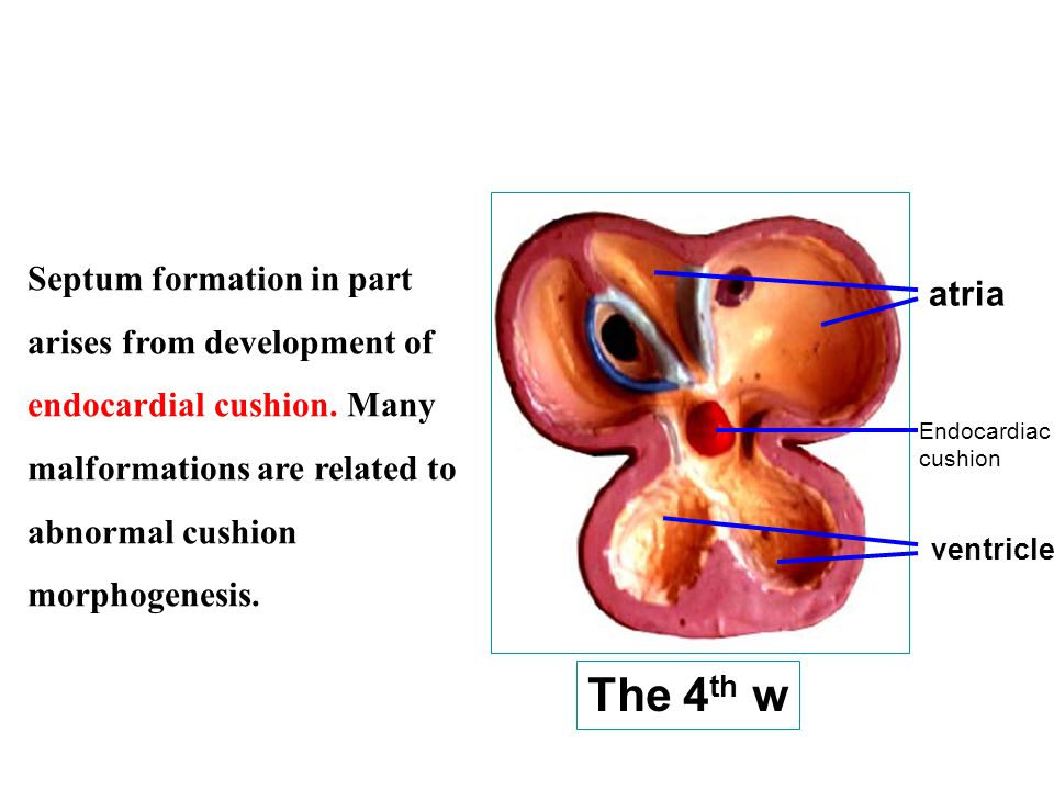Septum formation in part arises from development of endocardial cushion. Many malformations are related to abnormal cushion morphogenesis.