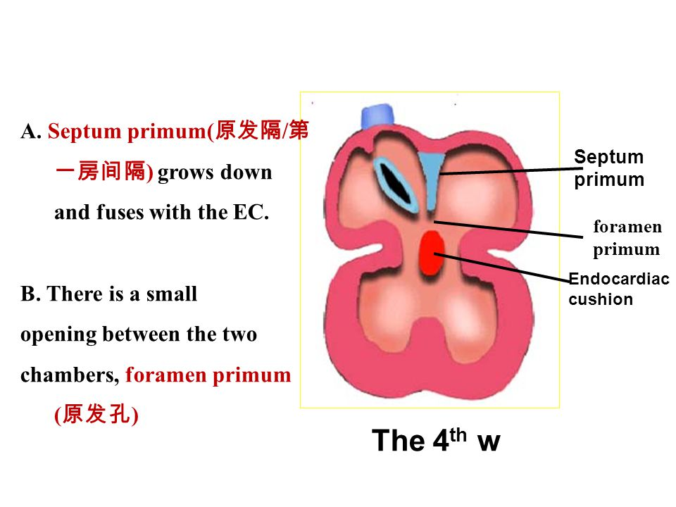 A. Septum primum(原发隔/第一房间隔) grows down and fuses with the EC.