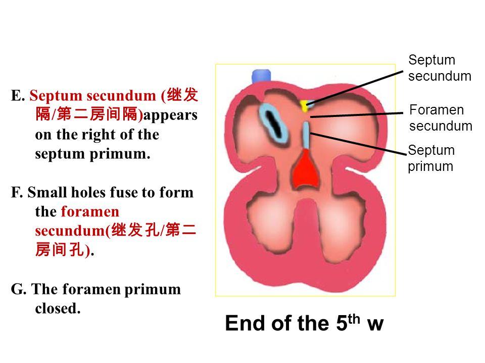 Septum secundum. E. Septum secundum (继发隔/第二房间隔)appears on the right of the septum primum.