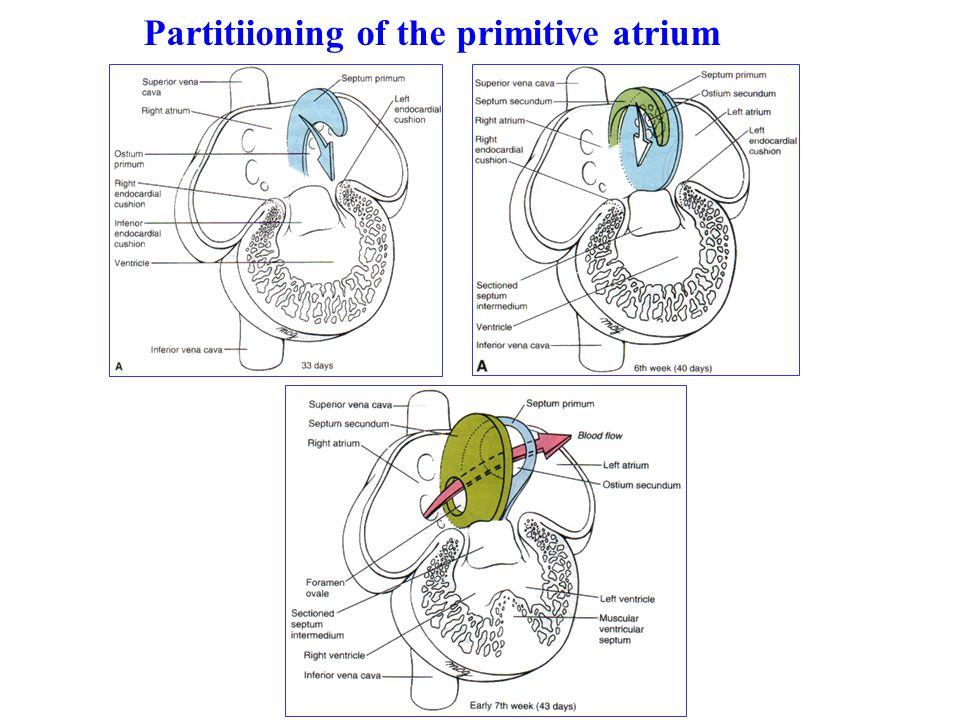 Partitiioning of the primitive atrium