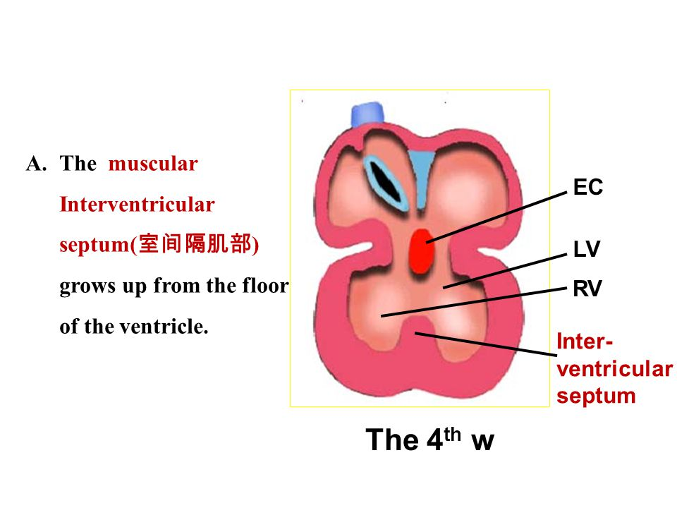 The muscular Interventricular septum(室间隔肌部) grows up from the floor of the ventricle.