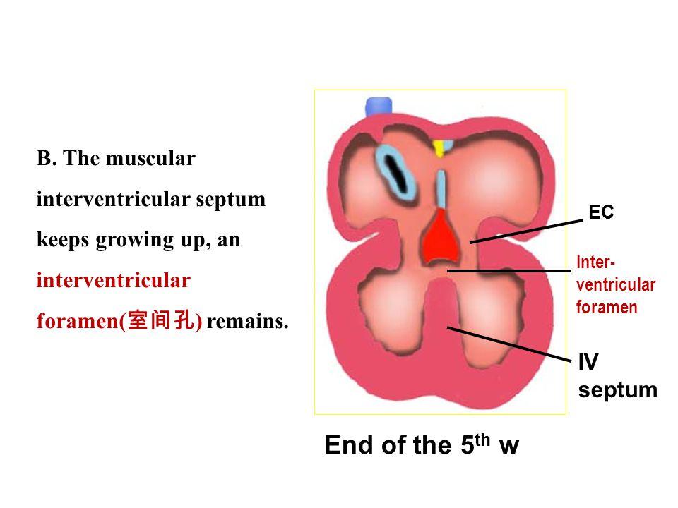 B. The muscular interventricular septum keeps growing up, an interventricular foramen(室间孔) remains.