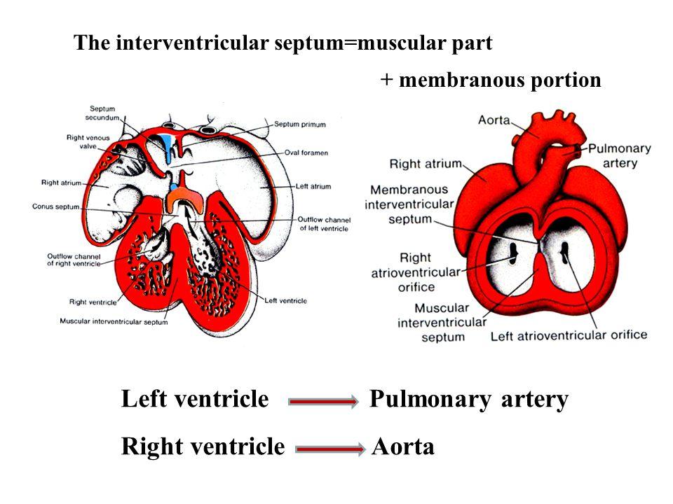 Left ventricle Pulmonary artery Right ventricle Aorta