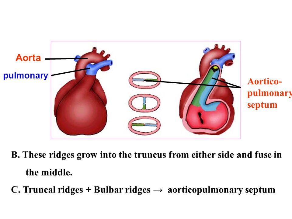 C. Truncal ridges + Bulbar ridges → aorticopulmonary septum