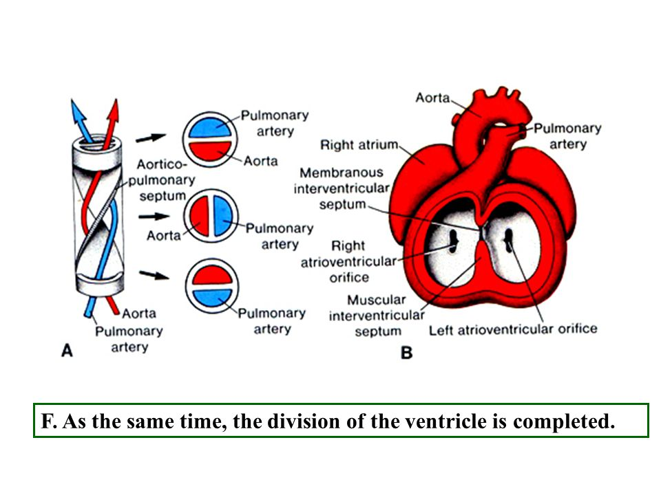 F. As the same time, the division of the ventricle is completed.