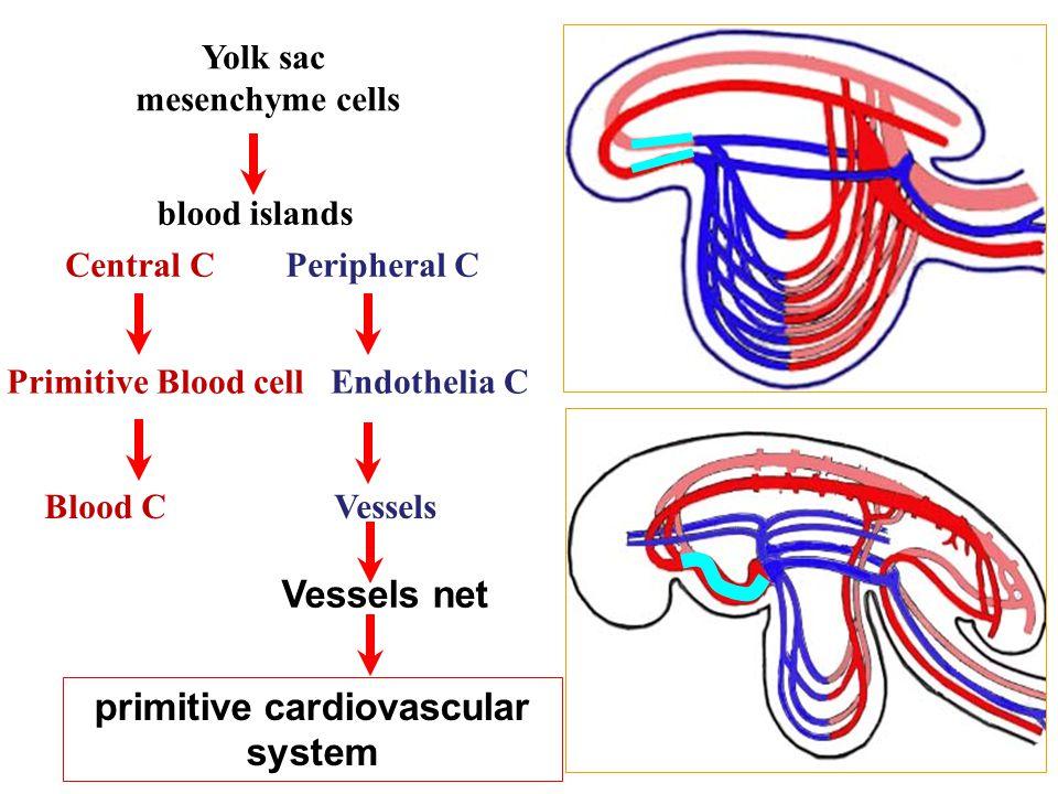 primitive cardiovascular system