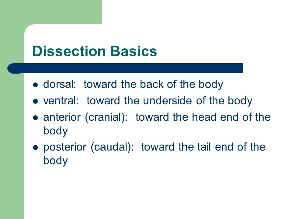 Dissection Basics dorsal: toward the back of the body