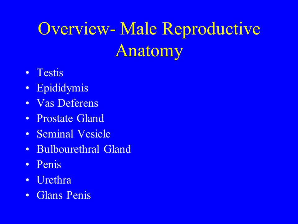 Overview- Male Reproductive Anatomy