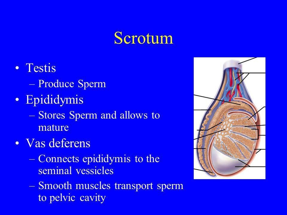 Scrotum Testis Epididymis Vas deferens Produce Sperm