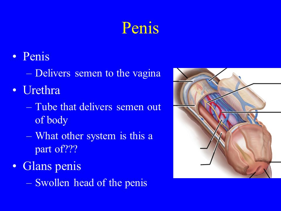 Penis Penis Urethra Glans penis Delivers semen to the vagina