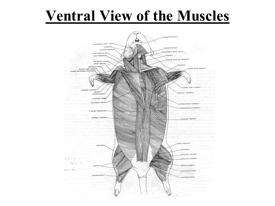 Ventral View of the Muscles