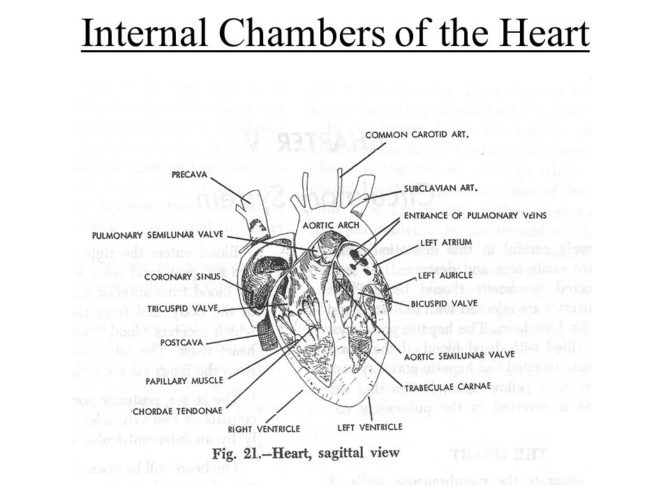 Internal Chambers of the Heart