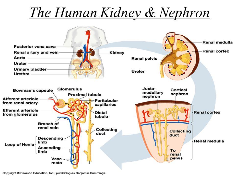 The Human Kidney & Nephron