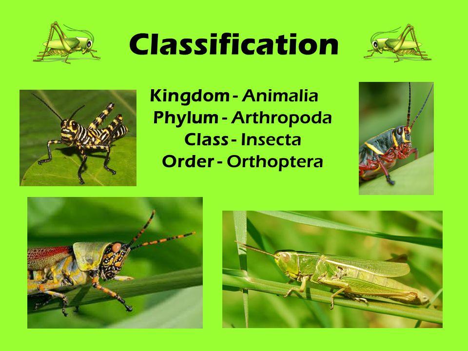 Classification Kingdom - Animalia Phylum - Arthropoda Class - Insecta Order - Orthoptera