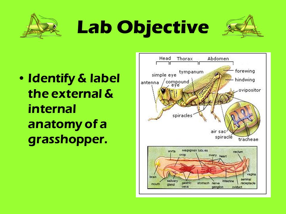 Grasshopper Dissection Lab Worksheet Gallery - worksheet math for kids