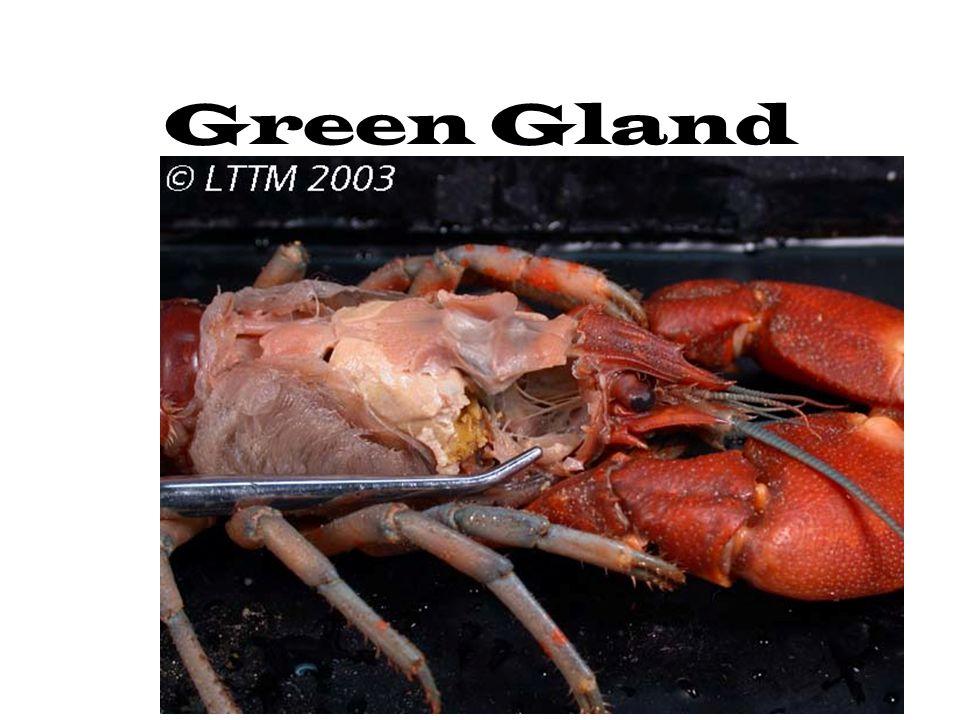 Green Gland