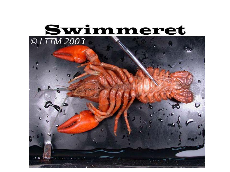 Swimmeret