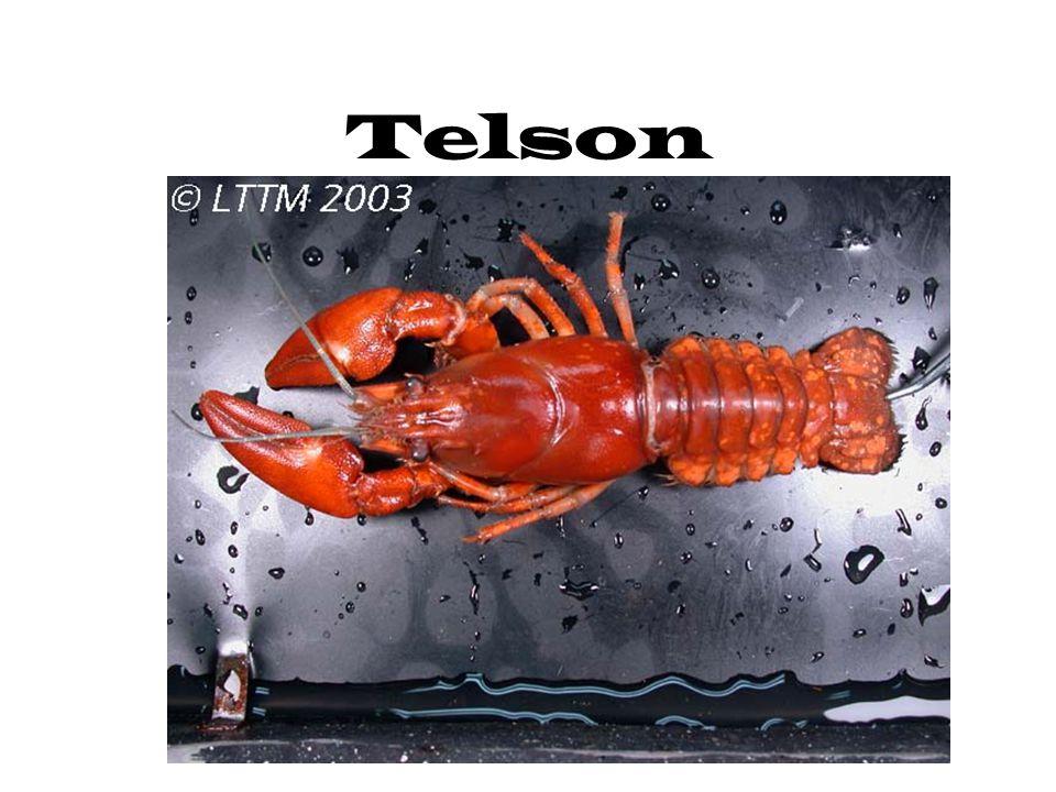 Telson