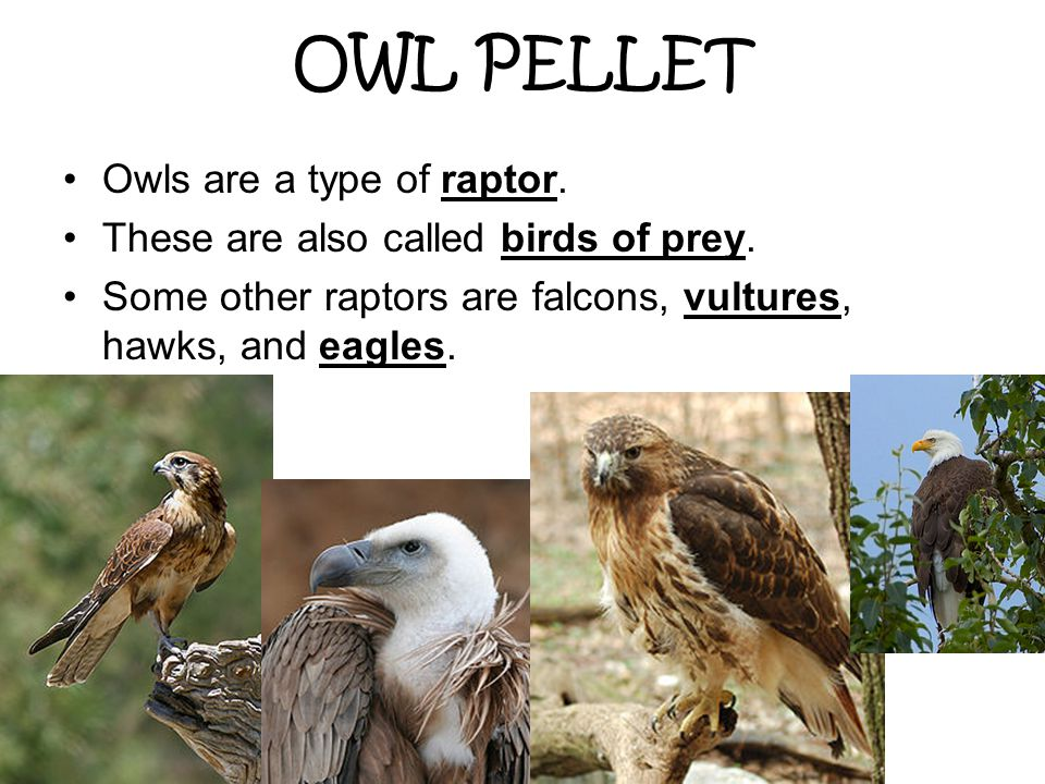 OWL PELLET Owls are a type of raptor.