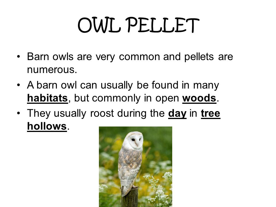 OWL PELLET Barn owls are very common and pellets are numerous.