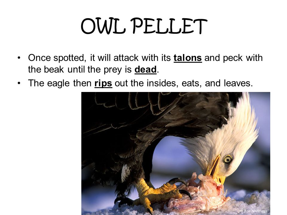 OWL PELLET Once spotted, it will attack with its talons and peck with the beak until the prey is dead.