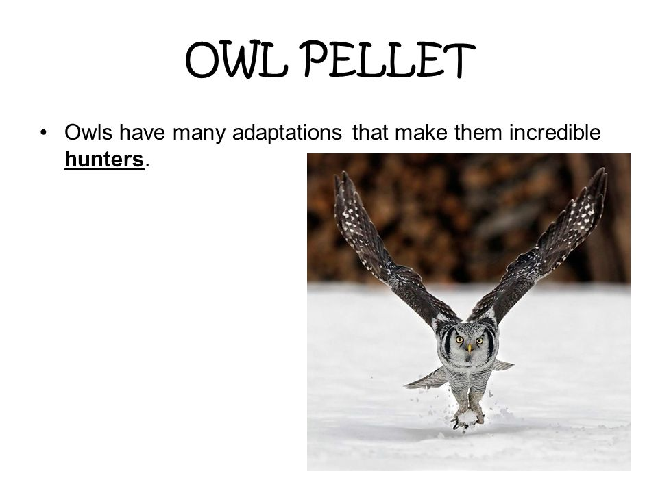OWL PELLET Owls have many adaptations that make them incredible hunters.