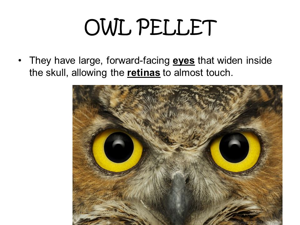 OWL PELLET They have large, forward-facing eyes that widen inside the skull, allowing the retinas to almost touch.