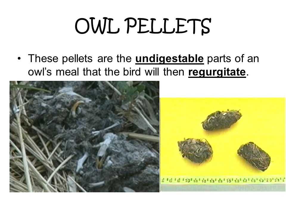 OWL PELLETS These pellets are the undigestable parts of an owl's meal that the bird will then regurgitate.
