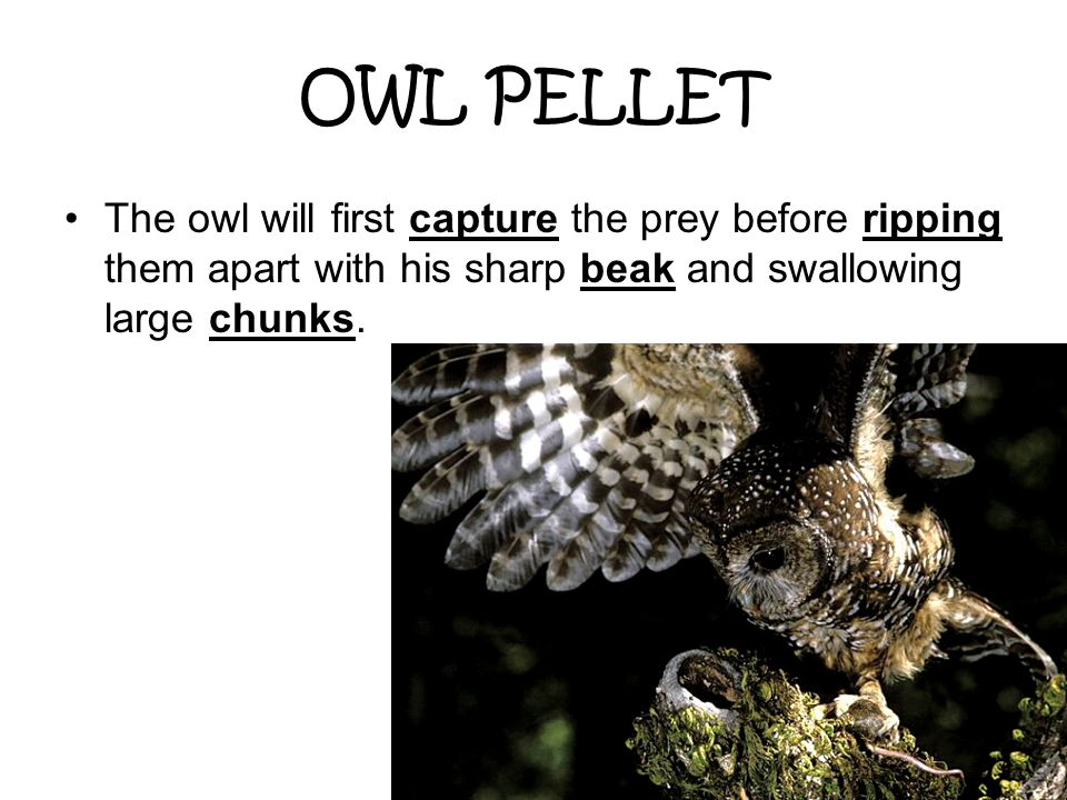 OWL PELLET The owl will first capture the prey before ripping them apart with his sharp beak and swallowing large chunks.