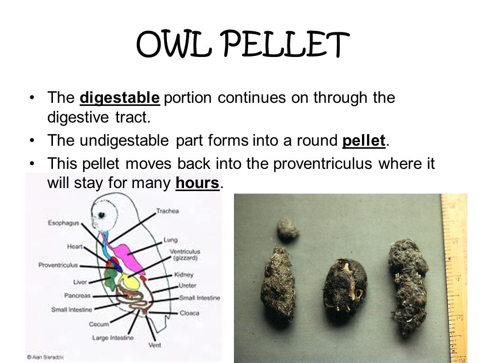 OWL PELLET The digestable portion continues on through the digestive tract. The undigestable part forms into a round pellet.
