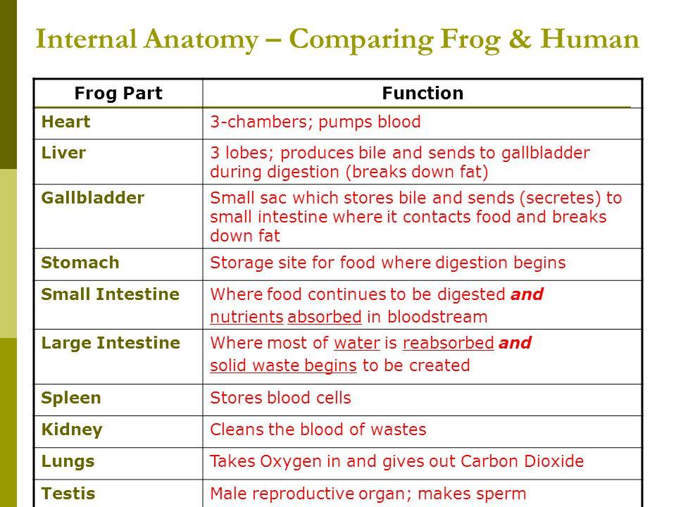 Internal Anatomy – Comparing Frog & Human