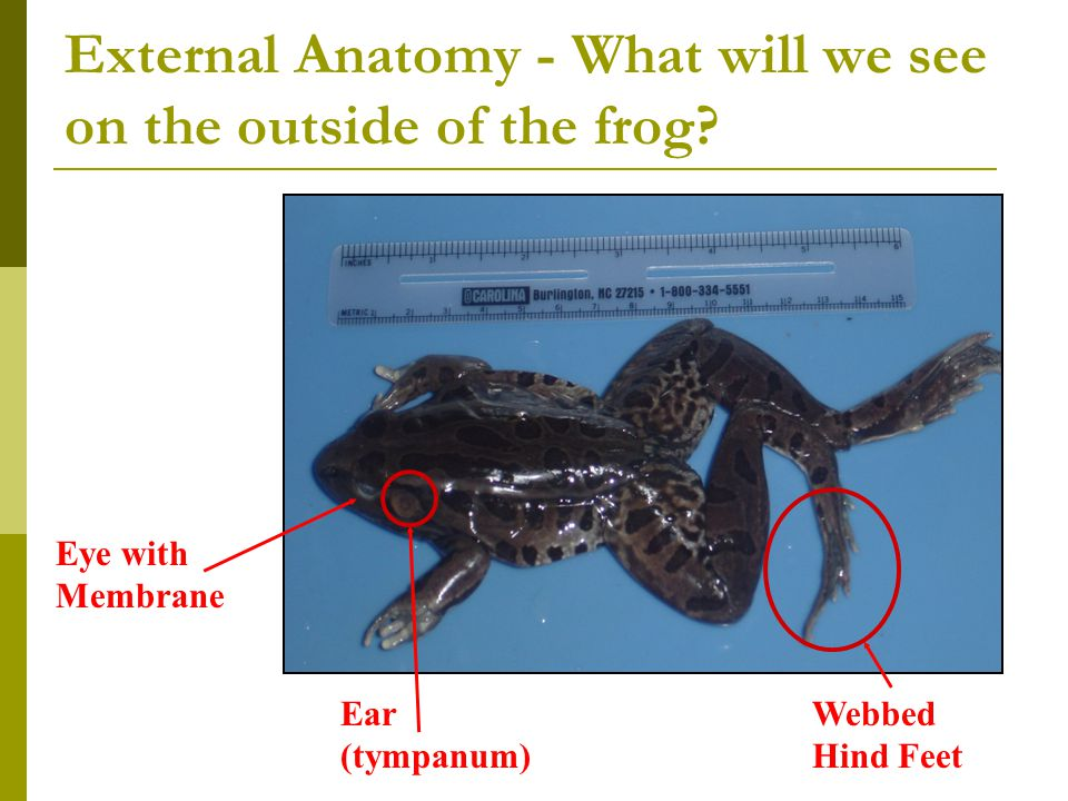 External Anatomy - What will we see on the outside of the frog