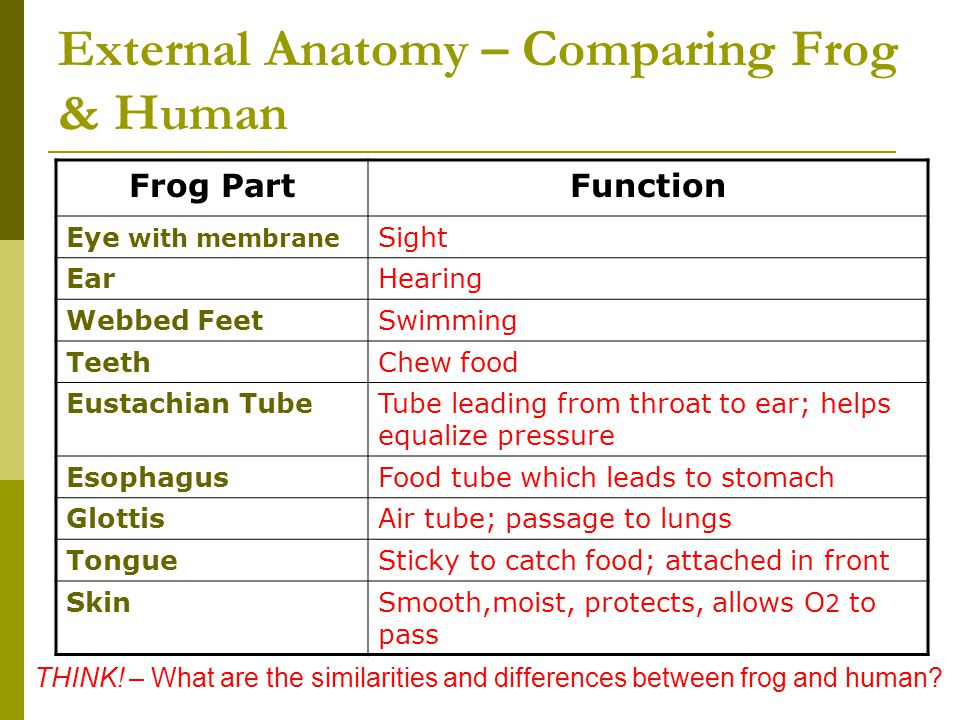 External Anatomy – Comparing Frog & Human