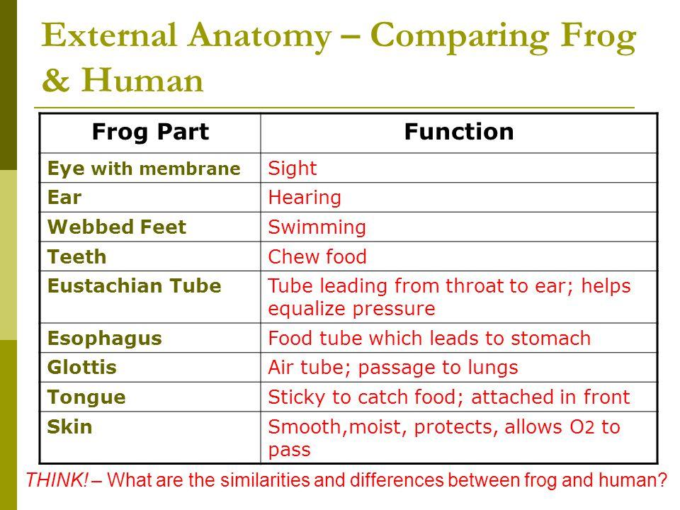 External Anatomy – Comparing Frog & Human
